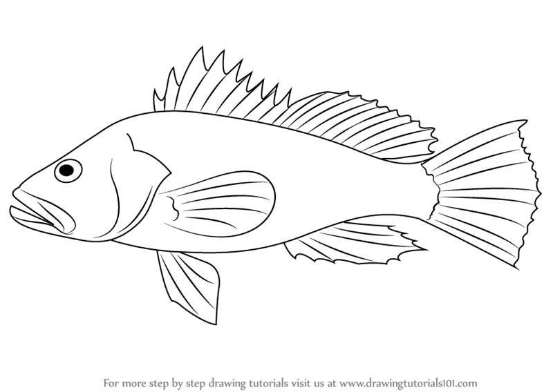 800x568 Learn How To Draw A Black Sea Bass (Fishes) Step By Step Drawing
