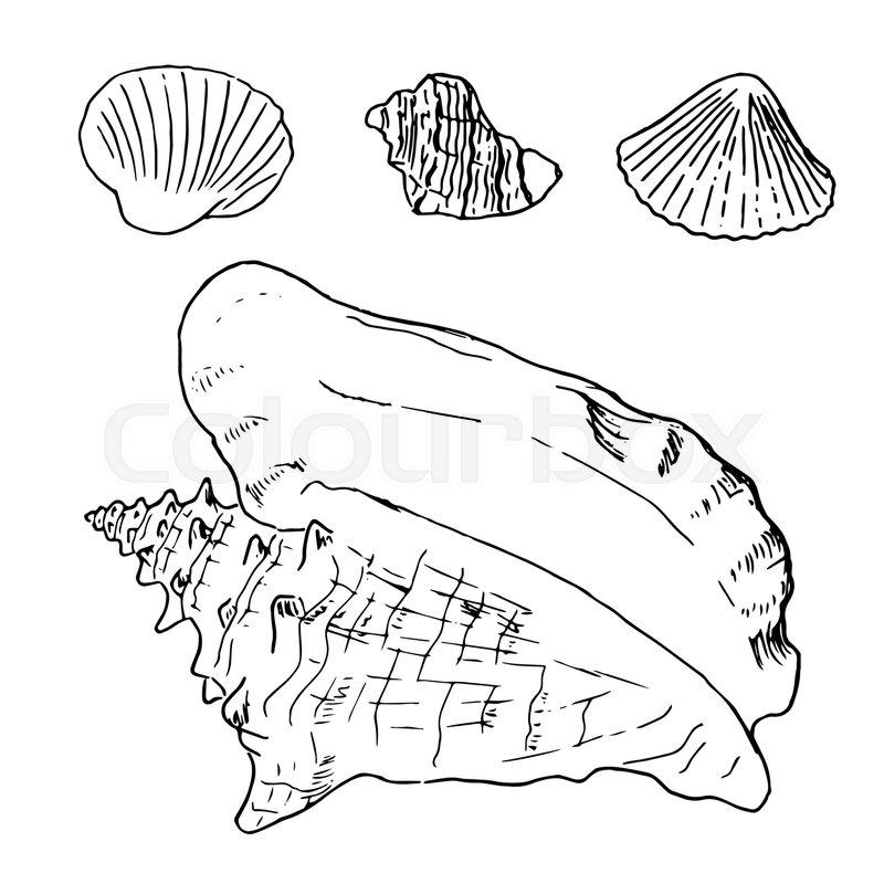 800x800 Set Of Various Beautiful Mollusk Sea Shells, Sketch Illustration