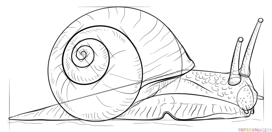 900x437 How To Draw A Snail Step By Step Drawing Tutorials
