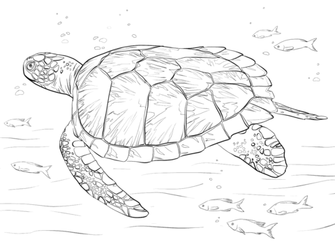 480x360 Green Sea Turtle Coloring Page Free Printable Coloring Pages