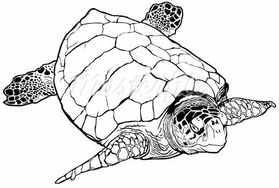 550x371 Sea Turtle Illustration