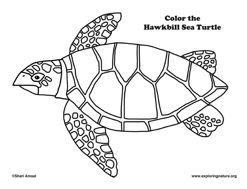 792x605 Sea Turtle (Hawkbill) Coloring Page
