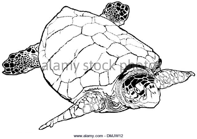 640x453 Sea Turtle Black And White Stock Photos Amp Images