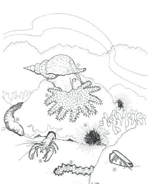Sea Urchin Drawing