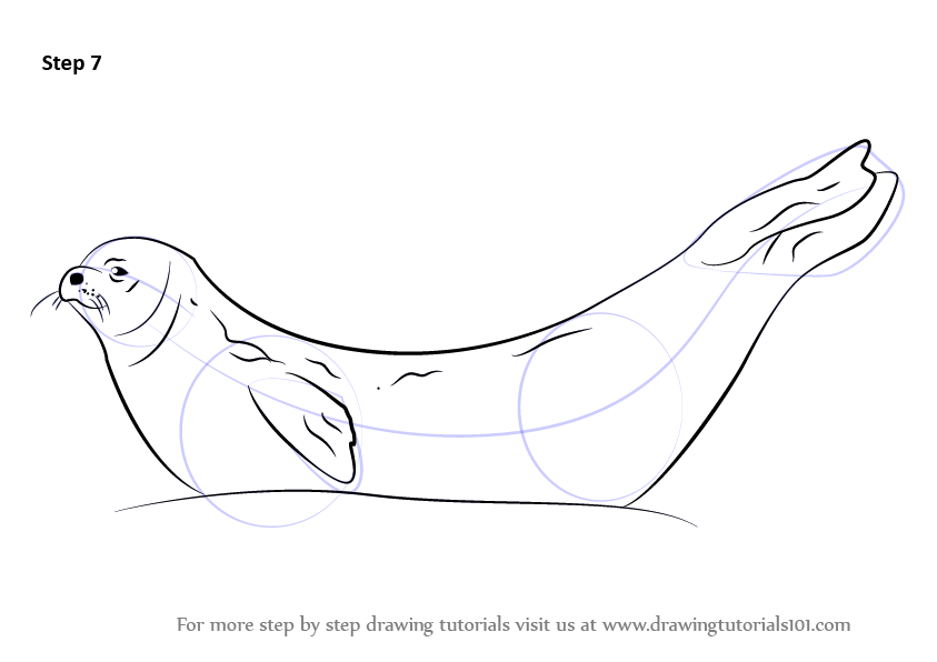 843x596 Learn How To Draw A Weddell Seal (Seals) Step By Step Drawing