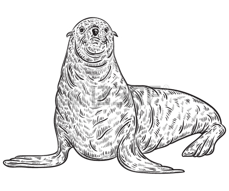 450x375 Seal Animal. Vintage Vector Illustration In Sketch Style Royalty