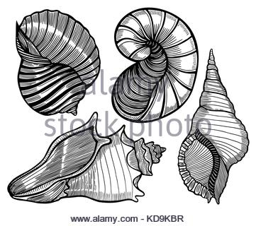 361x320 Seashell Collection, Engraving, Illustration, Drawing Collection