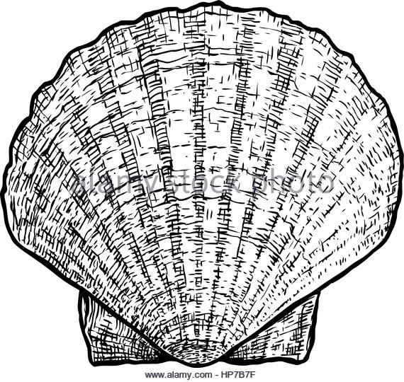 570x540 Drawing Of Clam Shell Stock Photos Amp Drawing Of Clam Shell Stock