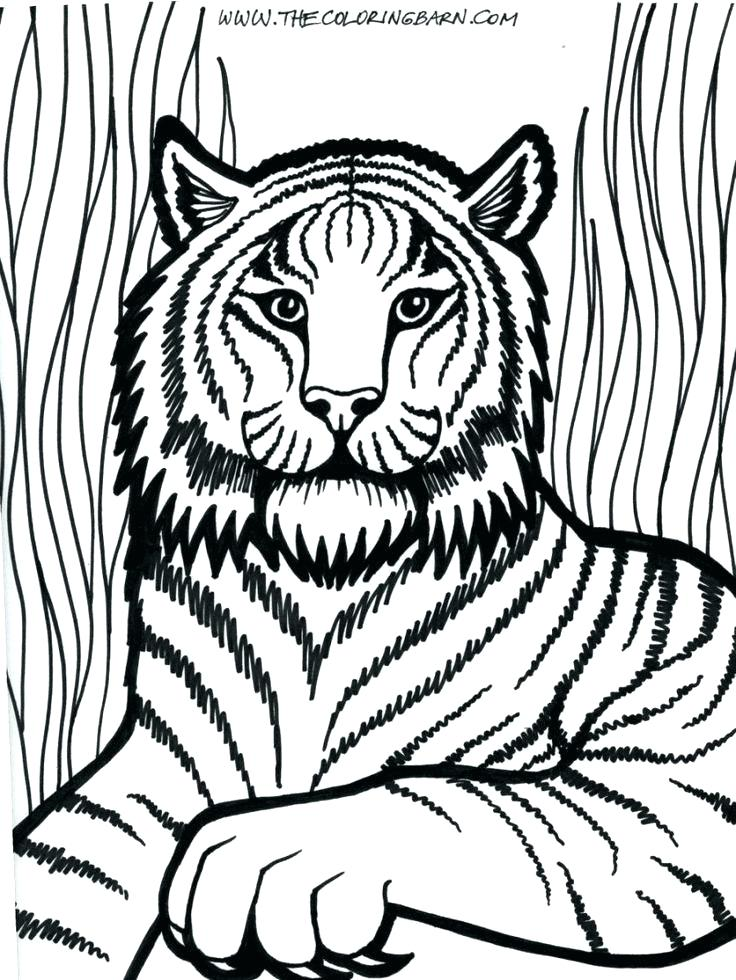 736x980 Coloring Page Of Tiger A Tiger Looking Over Its Territory Coloring