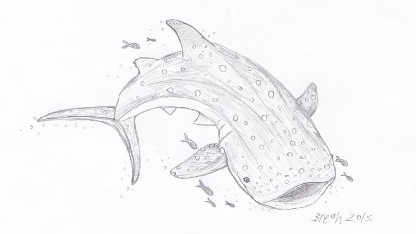 853x480 Humpback Whale Sketch Art By Breah