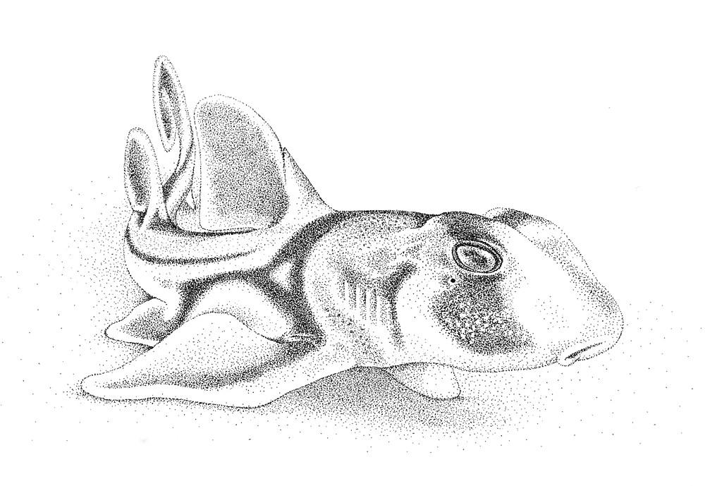 1000x689 Baby Port Jackson Shark Ink Drawing