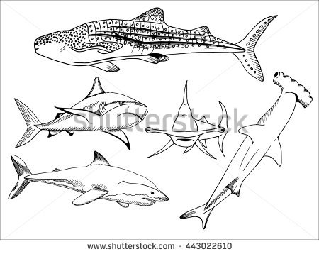 450x358 Whale Shark Clipart Line Drawing