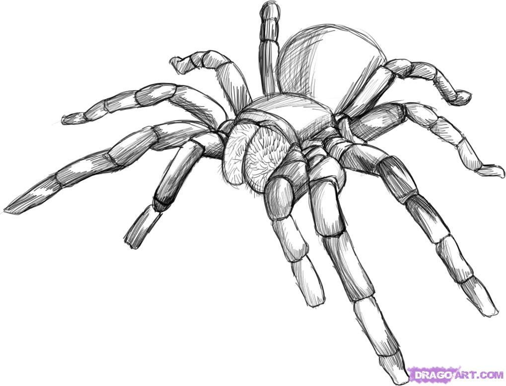 1019x777 How To Draw The Tarantula Step By Step