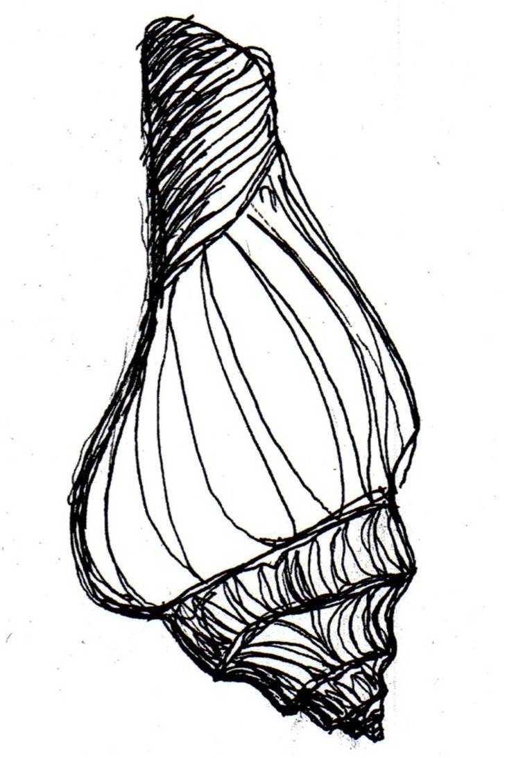 731x1092 Shell Sketch2 By Demoncatfish