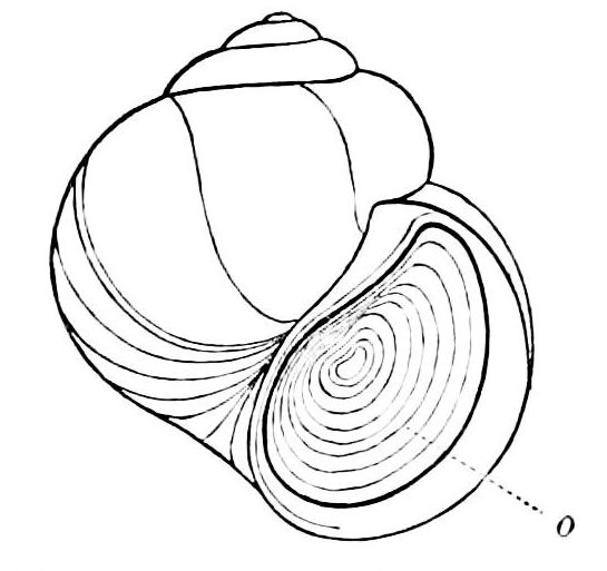 545x513 Filepsm V07 D585 Aperture Of Shell Closed By Operculum.jpg