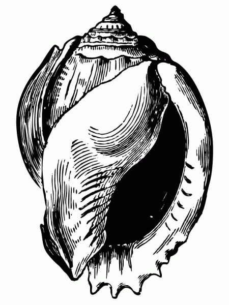 450x600 Shell Drawings Educational Resources Shell Drawing