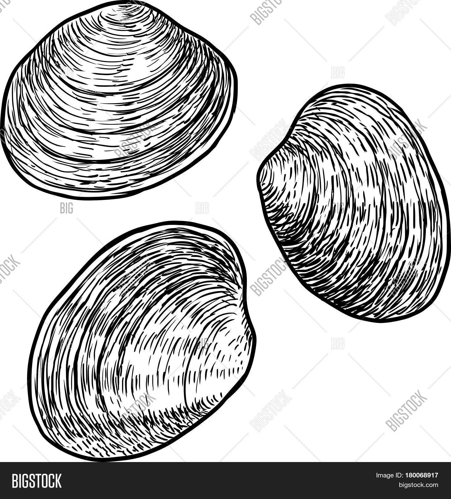 1463x1620 Edible Clam Illustration, Drawing Vector Amp Photo Bigstock
