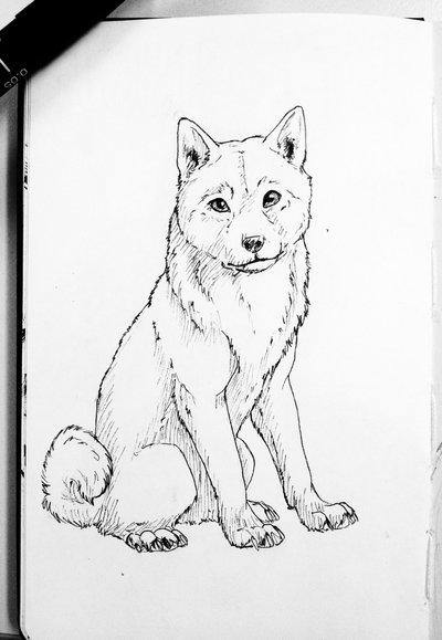 Shiba Drawing