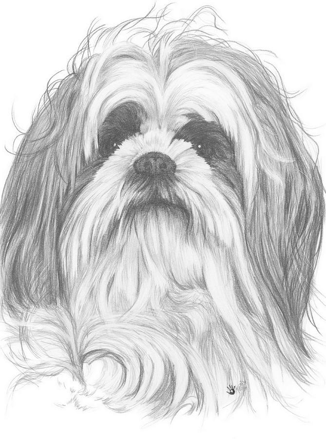669x900 Shih Poo Drawing By Barbara Keith