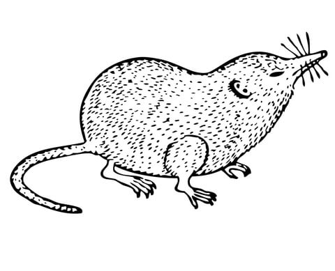 480x389 Shrew Coloring Page Free Printable Coloring Pages