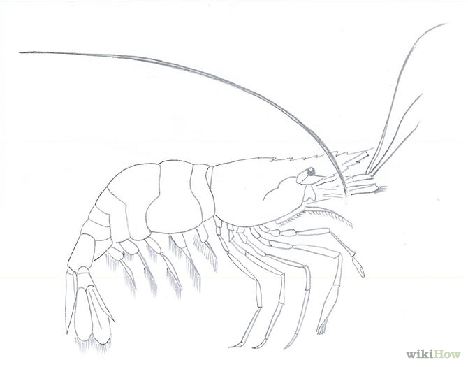 670x525 Draw Shrimp Paintings