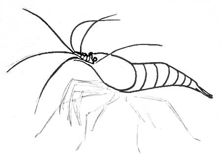 450x325 How To Draw A Shrimp
