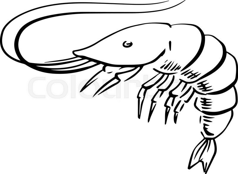 800x584 Sketch Of Fresh Marine Shrimp Or Prawn With Long Curved Antennae