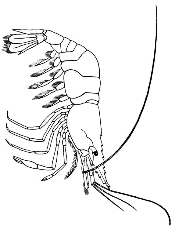574x750 Coloring Page Shrimp
