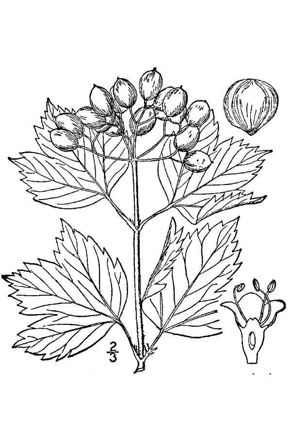 Shrub Drawing