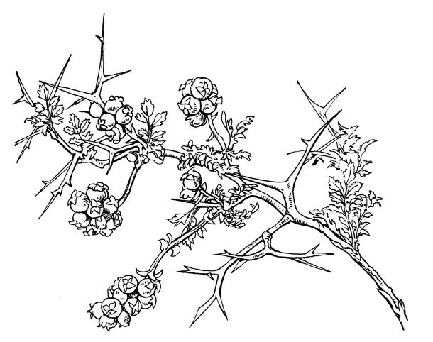 610x482 Thorny Burnet (Shrub)