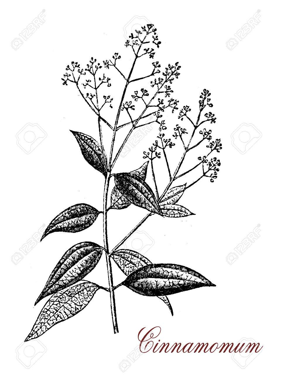 1001x1300 Vintage Engraving Of Cinnamomum, An Evergreen Aromatic Tree
