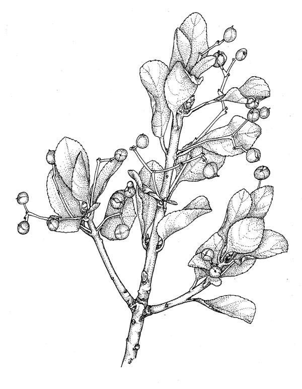 600x771 Poison Plant Illustrations