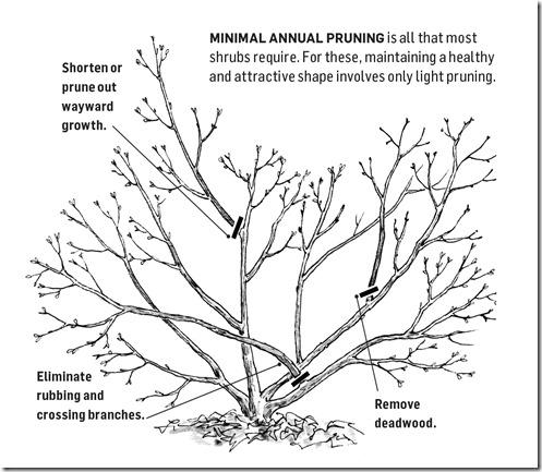 497x433 Pruning Shrubs Eastern Shore Gardener
