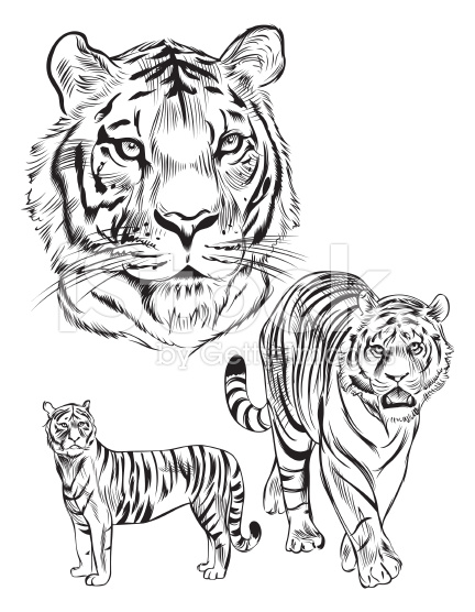 432x556 40 Awesome Tiger Line Drawing Images Art Tutorials Etc