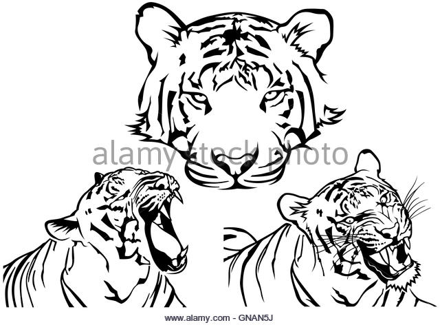 640x472 Siberian Tiger Roaring Stock Photos Amp Siberian Tiger Roaring Stock