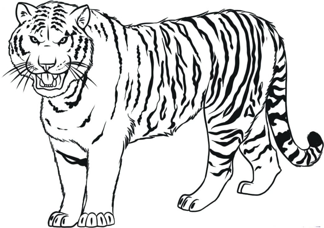 1043x735 An Illustration Of White Siberian Tiger Coloring Page Pages