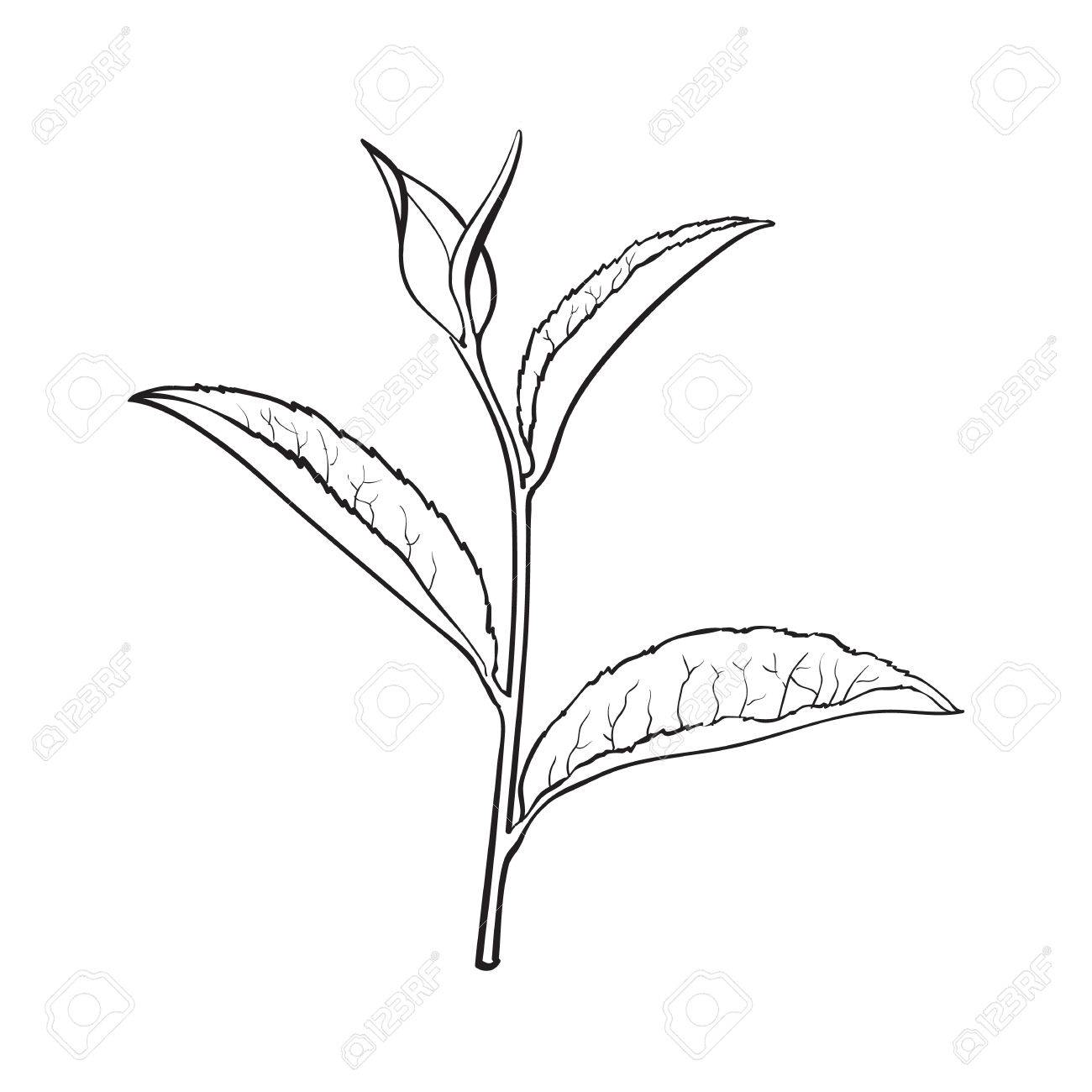 1300x1300 Hand Drawn Tea Leaf, Side View Sketch Style Vector Illustration