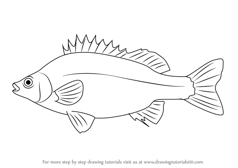 800x566 Learn How To Draw A Silver Perch (Fishes) Step By Step Drawing