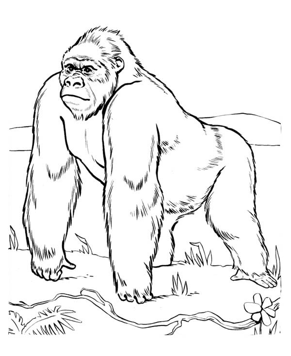 600x734 gorilla printable coloring pages silverback gorilla coloring pages