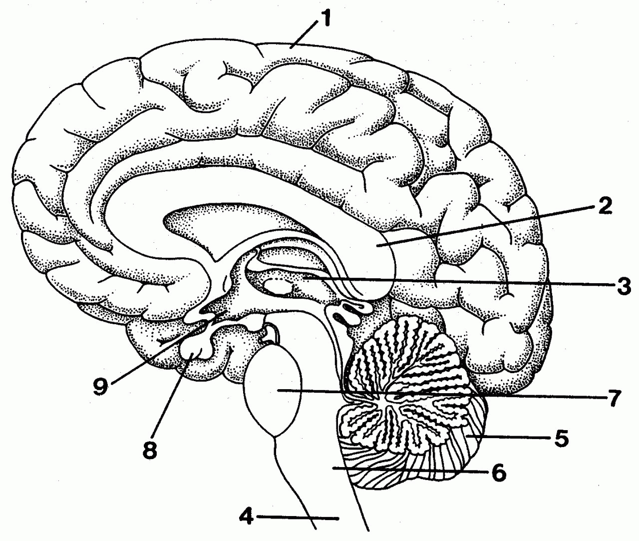 Simple brain drawing at getdrawings free for personal use 1280x1083 simple labeled pencil sketch diagram of human brain how to draw a ccuart Choice Image