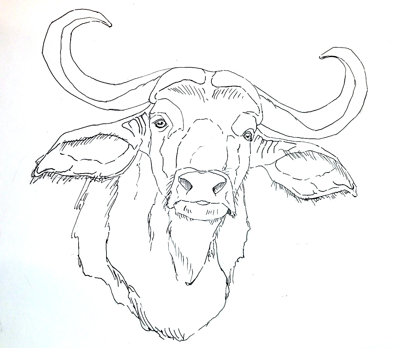 1268x1111 Coloring Pages Draw A Buffalo Water Buffalo Drawing Free And Bison