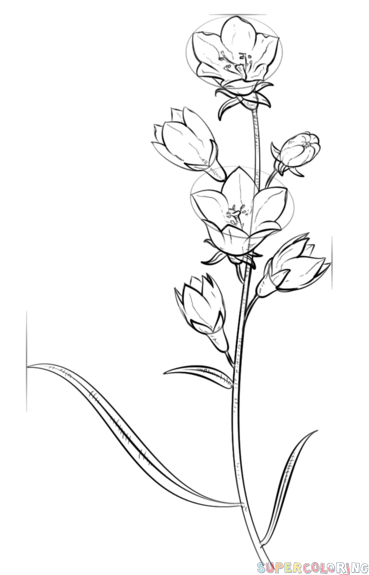 369x575 How To Draw A Bell Flower Step By Step Drawing Tutorials