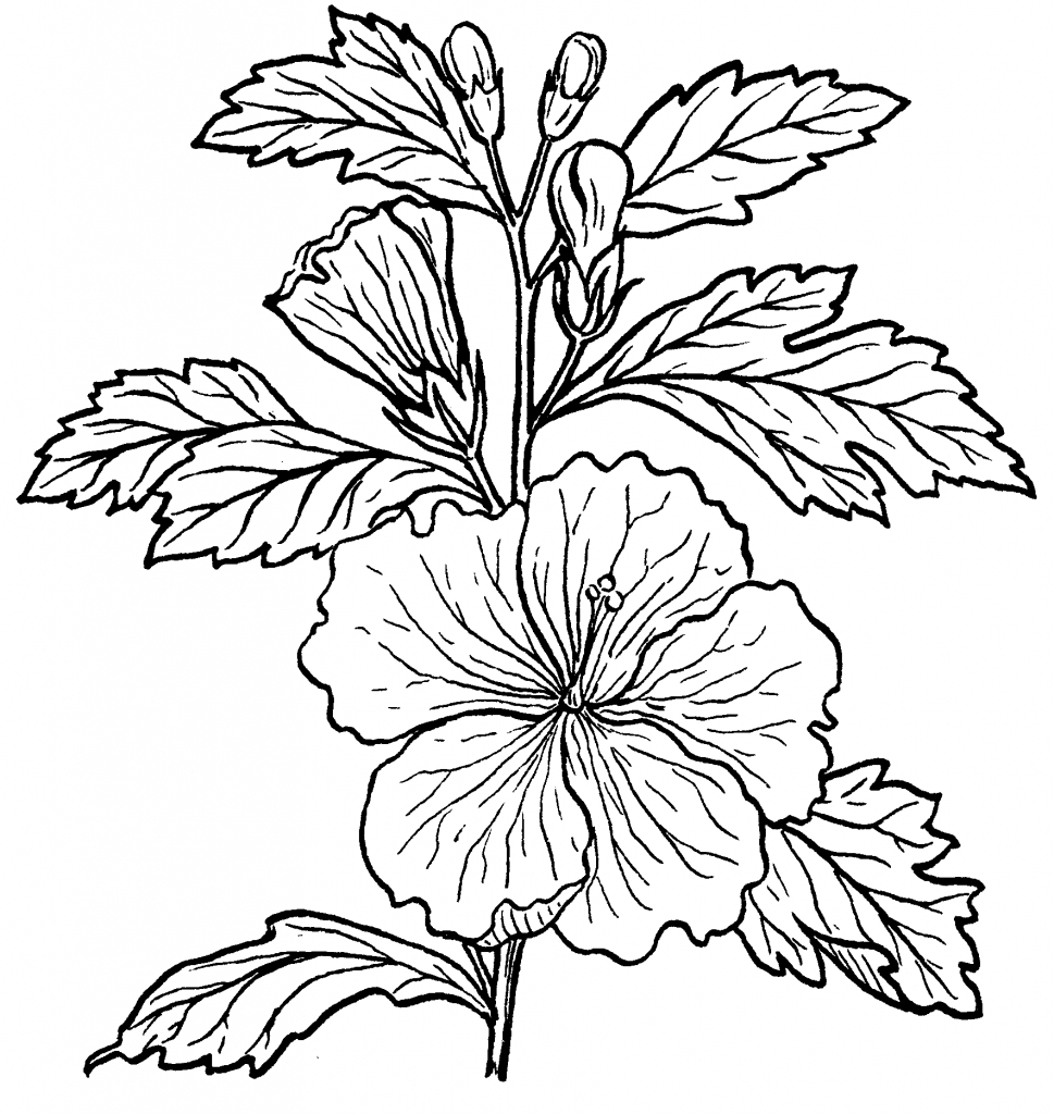 969x1024 Hibiscus Drawing And Label
