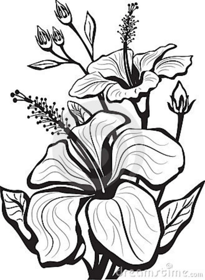 658x900 Hibiscus Flower Drawings