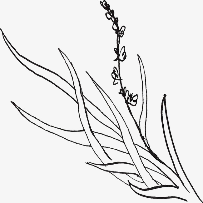 650x650 Lavender Line Drawing, Black, Line, Line Drawing Of Plant Png