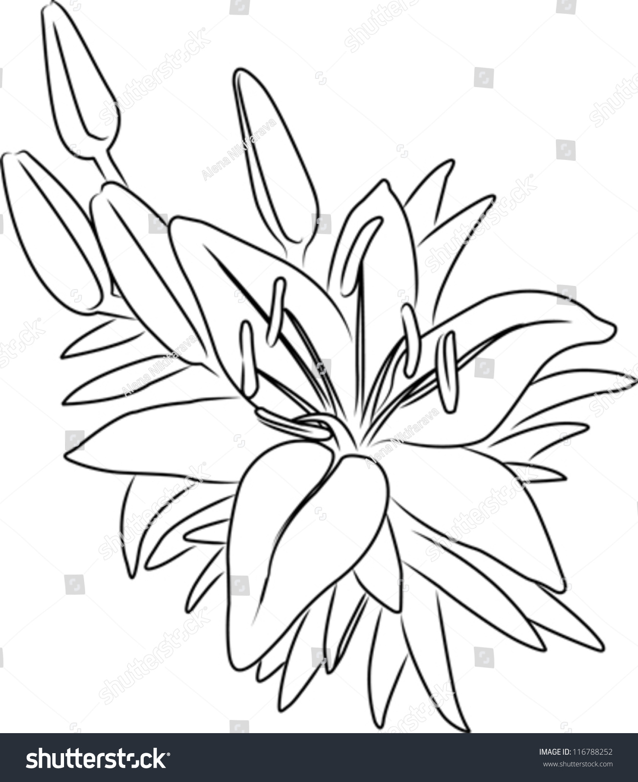 1305x1600 Flower Bouquet Drawing Simple Royalty Free Blooming Asiatic Lily