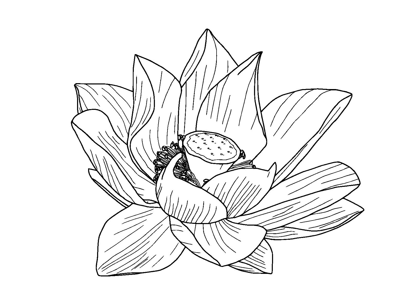 1600x1200 Lotus Clipart Flower Outline