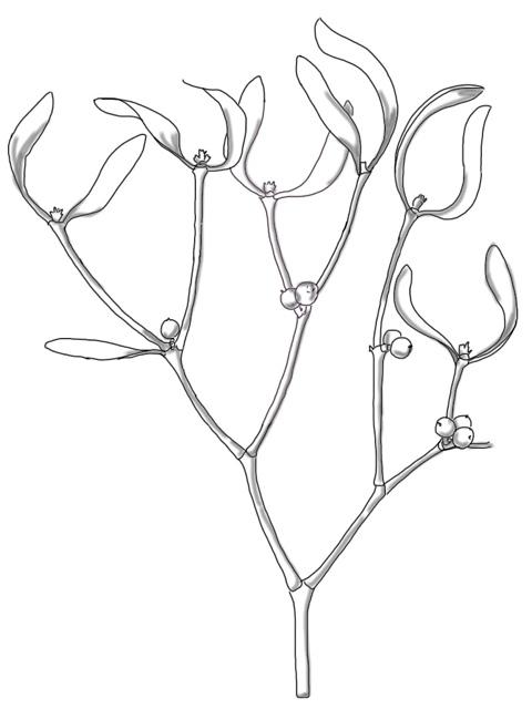 480x640 Mistletoe Art From The Edge Of Time