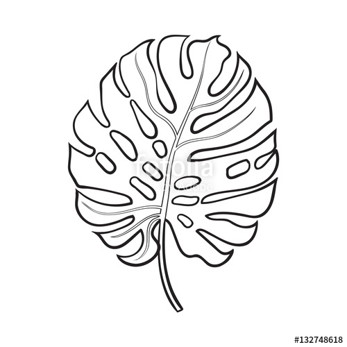 500x500 Full Fresh Leaf Of Monstera Palm Tree, Sketch Style Vector