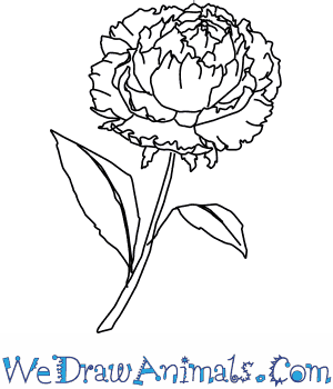 300x350 How To Draw A Peony Flower